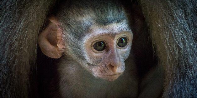 Ένα πίθηκος είναι ο κληρονόμος πλούσιου και άτεκνου ζευγαριού στην