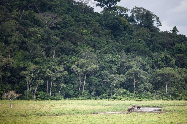 La forêt tropicale gabonaise est un écosystème fragile et menacé par le braconnage...