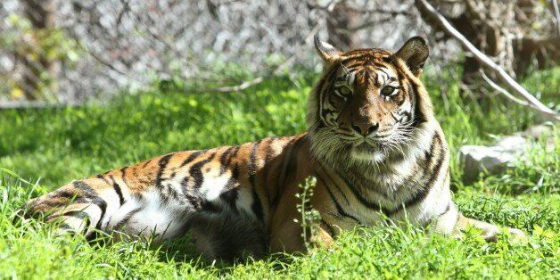 Hana, a rare Sumatran tiger lies at the Biblical Zoo in Jerusalem on December 29, 2014. Hana killed and...