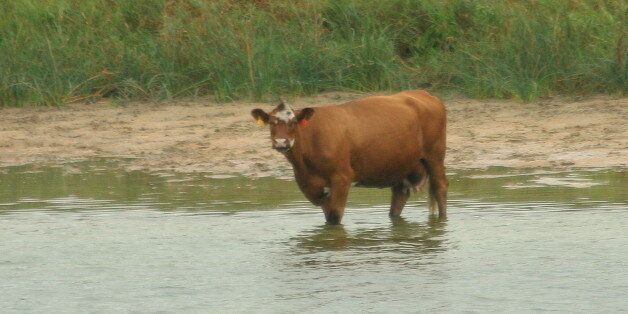 Seems some Flickrfolk gits reeal excited 'bout cows relaxin' onna beach. Heck, up heah wears I cum frum...