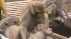 Πίθηκος έσωσε πίθηκο που έπαθε