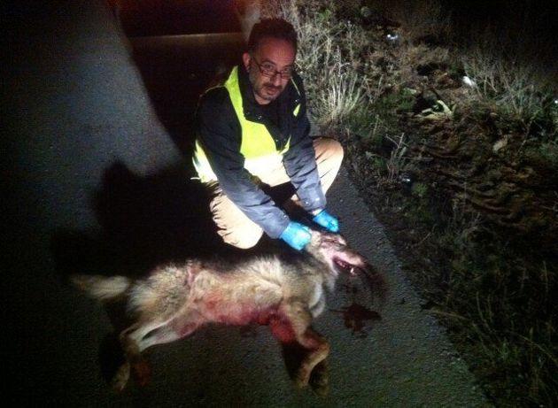 Τροχαίο με θύμα λύκο στην