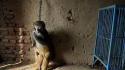 Σπαρακτικές εικόνες από μαϊμουδίτσες που εκπαιδεύονται για το τσίρκο