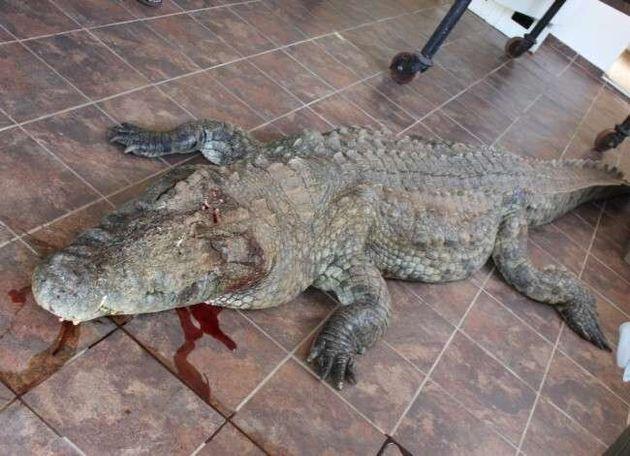 Κροκόδειλος έφαγε γκόλφερ την ώρα που έψαχνε τις μπάλες του