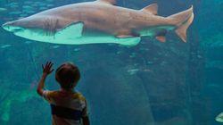 Καρχαρίας υπέστη νευρικό κλονισμό σε ζωολογικό