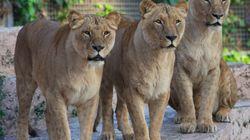Φρίκη στο ζωολογικό κήπο της Βαρκελώνης: Ακτιβιστής έπεσε στα λιοντάρια και γλίτωσε στο παρά