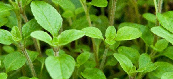 Ιπποκράτης και ομοιοπαθητική: 7 θεραπευτικά βότανα που χρησιμοποιούνται μέχρι