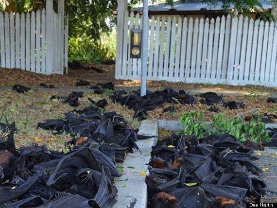 5.000 νυχτερίδες έπεσαν νεκρές από τα δέντρα, με τα μωρά προσκολλημένα πάνω