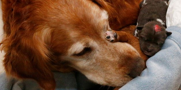 Golden retriever Lilly, a retired search and rescue dog from Wichita, Kansas, looks after her own pup...