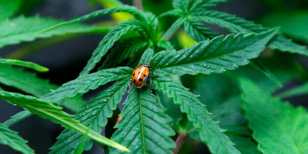FILE - In this June 25, 2014 file photo, a ladybug crawls on a marijuana plant at Sea of Green Farms, a recreational pot grower in Seattle. Investors in a potential medical marijuana growing operation are trying to persuade a city council in the south-central Illinois  town of Effingham to reconsider a zoning request. They're offering up to $1 million to local schools over 10 years to show they're serious about helping the community. (AP Photo/Ted S. Warren, File)