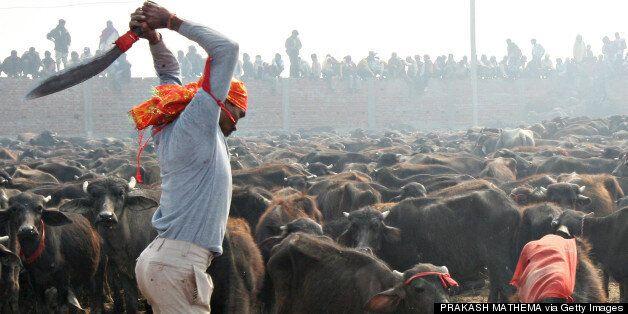 Μαζική σφαγή ζώων στην Ινδία για τη θεά Γκαντιμάι και διαδηλώσεις