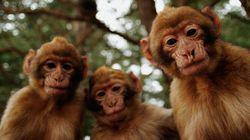 La survie du macaque de Barbarie menacée par le braconnage au