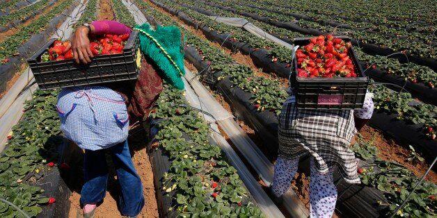 11.000 ouvrières agricoles marocaines partiront en avril récolter les fraises en