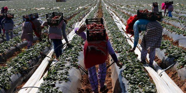 Farmers pick strawberries, to be exported, in a field in the town of Moulay Bousselham in Kenitra province...