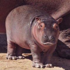 Première naissance d'un hippopotame au Jardin zoologique national de
