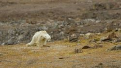 Les images déchirantes d'un ours polaire mourant de faim à cause du réchauffement