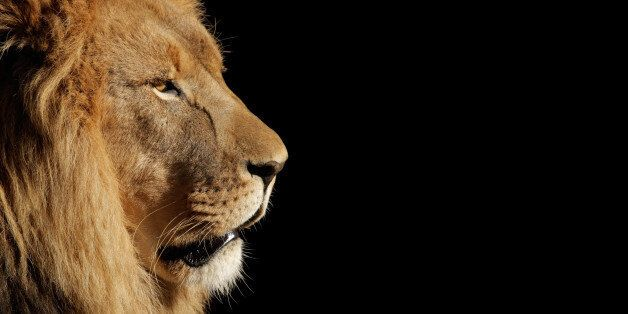 Side portrait of a big male African lion (Panthera leo) against a black background, South