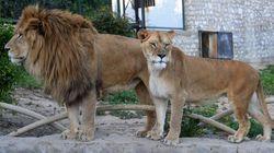 Tunisie - La mort du lionceau: Simple incompétence...ou cruauté