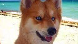 Ceci n'est pas un renard, mais bien l'un des plus beaux chiens au