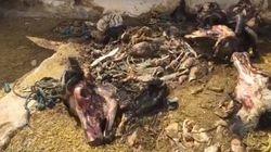 Cette vidéo choc de l'abattoir de Houmt Souk à Djerba fait craindre aux habitants une