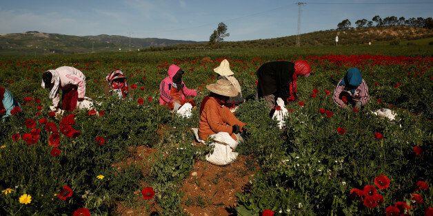 Women harvest green peas in a field near El Kef, Tunisia April 14, 2016. REUTERS/Zohra