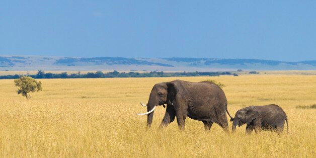 African elephant with calf in the