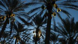 Kébili : Vers l'inscription des coutumes liées au palmier sur la liste du patrimoine de