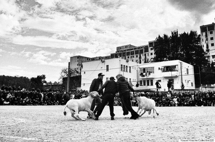Si les hommes avaient des cornes: combats de béliers, les photos de Youcef