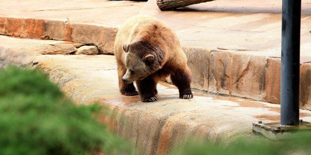 MILWAUKEE, WI - JUNE 08: A Grizzly Bear Cub, looks for food at the Milwaukee County Zoo on JUNE 08, 2013....