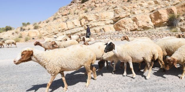 A Tunisian shepherd herds his sheep near the dry reservoir bed of the El-Haouareb dam, located near Kairouan,...