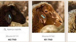Tunisie: Acheter son mouton en ligne, une pratique de plus en plus