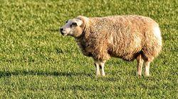 Tunisie: Les prix des moutons pour l'Aïd en baisse par rapport à
