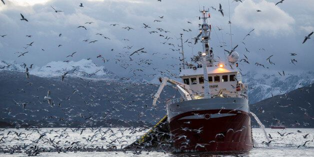 A fishing boat collecting it's net which is full of herring. Sea gulls hover around ready to pounce on...