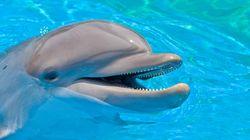 Le Hamas aurait capturé un «dauphin