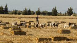 Le vol de bétail se multiplie, les agriculteurs