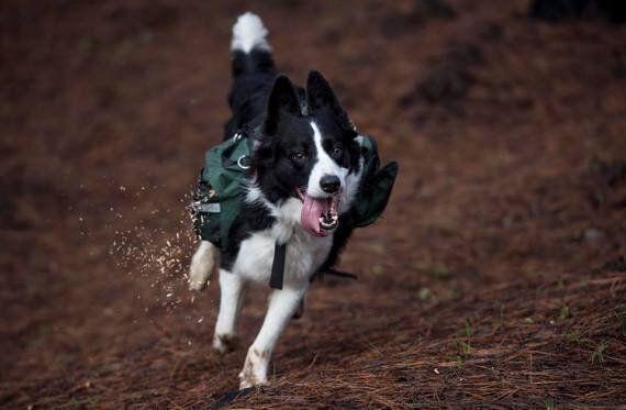 Des chiens replantent les forêts chiliennes dévastées par le feu!