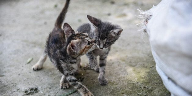 Stray cat puppies playing and discovering life in Artaki, on Euboea on July 14, 2017(Photo by Wassilios...