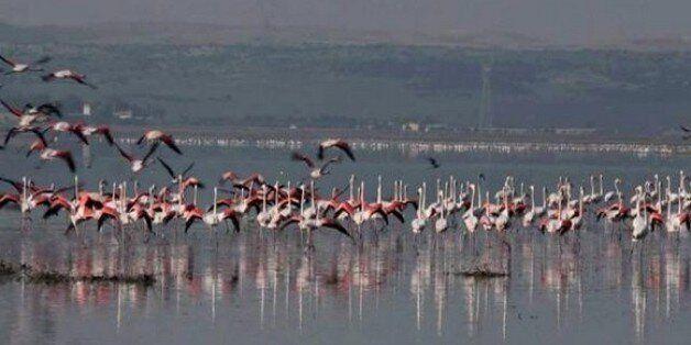 Lac Télamine (Oran): le paradis des flamants roses en