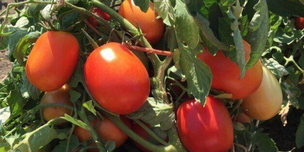 Le déficit en eau menace les producteurs de tomate industrielle à