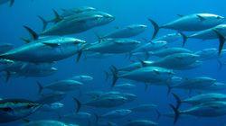 Thon rouge: la campagne de pêche