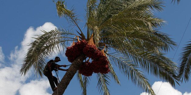 A Palestinian farmer harvests dates from a date palm tree in Khan Yunis, in the southern Gaza Strip,...
