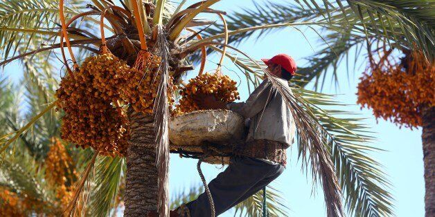 An Egyptian worker harvests dates from a date palm tree on September 14, 2014 in Tajura, a coastal suburb...