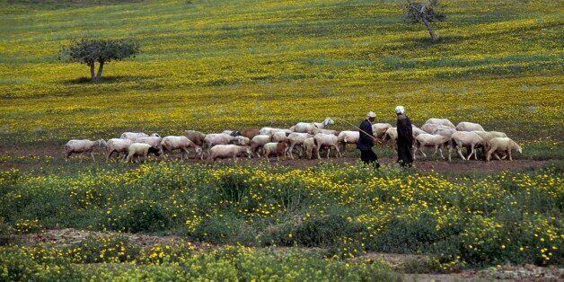 ALGERIA - MARCH 18: A flock of sheep and shepherds, near Arzew, Algeria. (Photo by DeAgostini/Getty