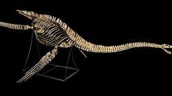 Le squelette du dinosaure marin vient d'être restitué au