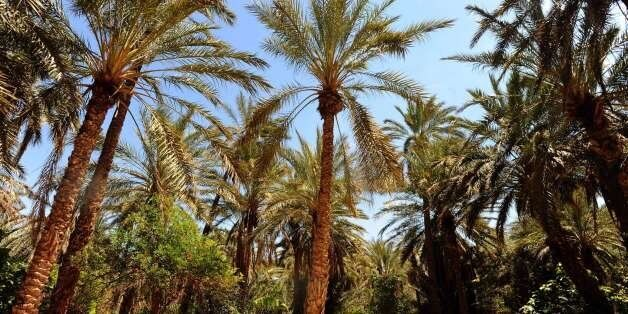 A general view taken on May 3, 2014 shows palm trees in an oasis in the town of Tozeur, in the Djerid...