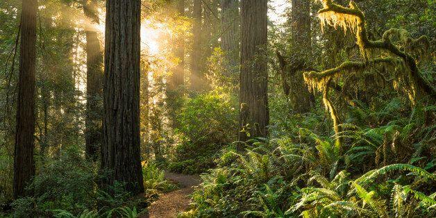 Sunrise on the trail, Redwood