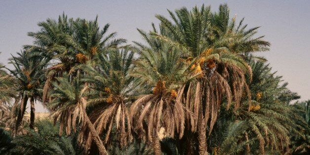 TUNISIA - MARCH 18: Palm trees, Tozeur Oasis, Tunisia. (Photo by DeAgostini/Getty