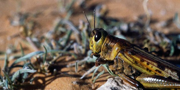 ALGERIA - MAY 11: Desert locust (Schistocerca gregaria), Sahara Desert, Algeria. (Photo by DeAgostini/Getty