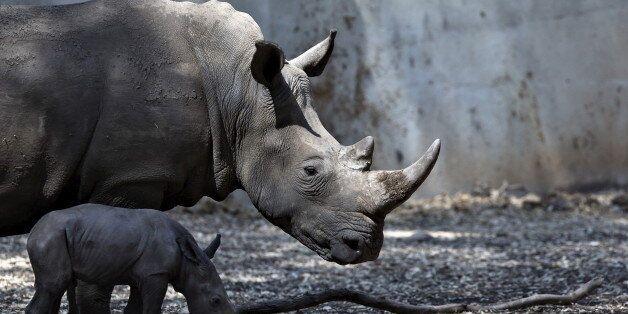 A newborn rhinoceros stands next to its six-year-old mother Keren Peles at the Ramat Gan Safari Zoo near...