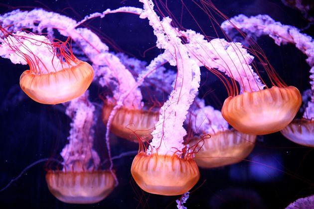 Des méduses dans un